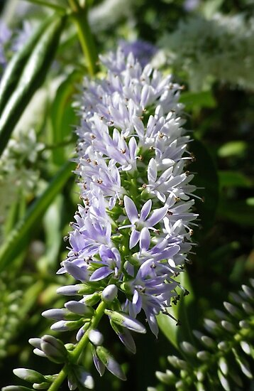 LAVENDER BLUE HEBE FLOWERS by Richard Brookes