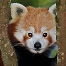 Red Panda by Krys Bailey