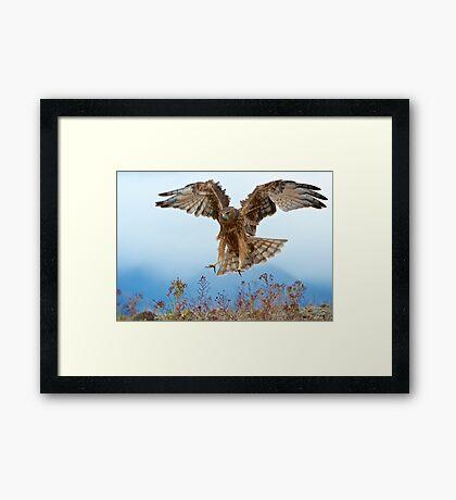 Wild NZ Kahu Hawk attack Framed Print