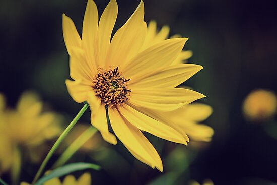 Doronicum #2 by angrypixel