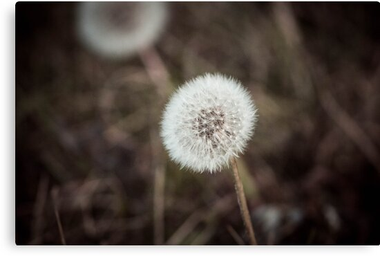 Dandelion in Siberia by samsheff