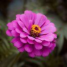 Violet Flower by samsheff