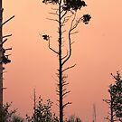 Long Tall Pines by Dave Harnetty