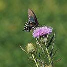 Pipevine Swallowtail Butterfly by Sandy Keeton