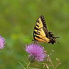 Butterfly on Thistle by Sandy Keeton