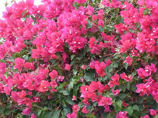Beautiful Pink Bougainvillea by dees-photos