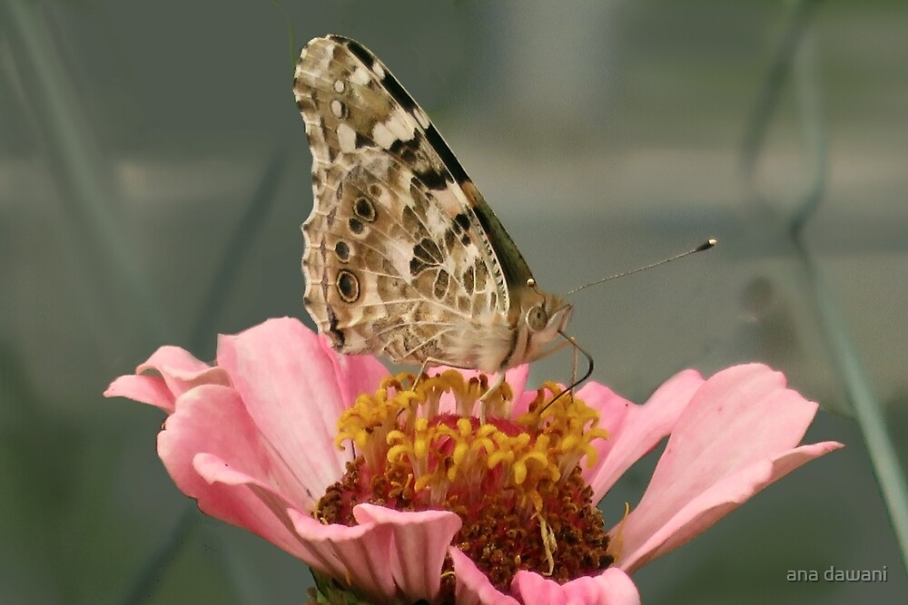 Painted Lady butterfly by anadawani