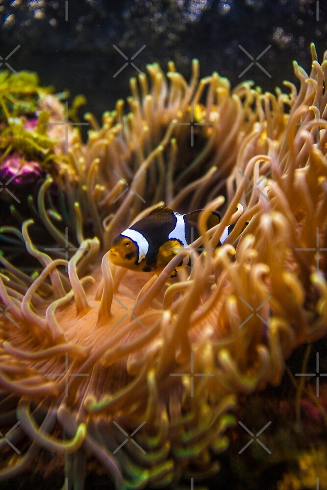 Clownfish 02 Image By Rich AMeN Gill by RichAMeNGill