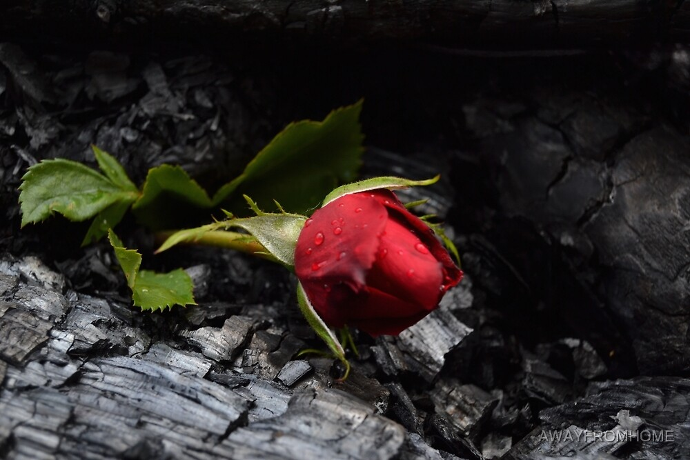 Rose Through Fire by AWAYFROMHOME