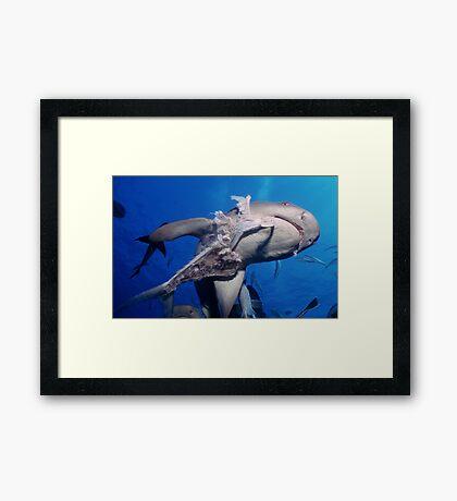 Whitetip Reef Shark Framed Print