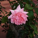 Pink Beauty Rose by charmedy