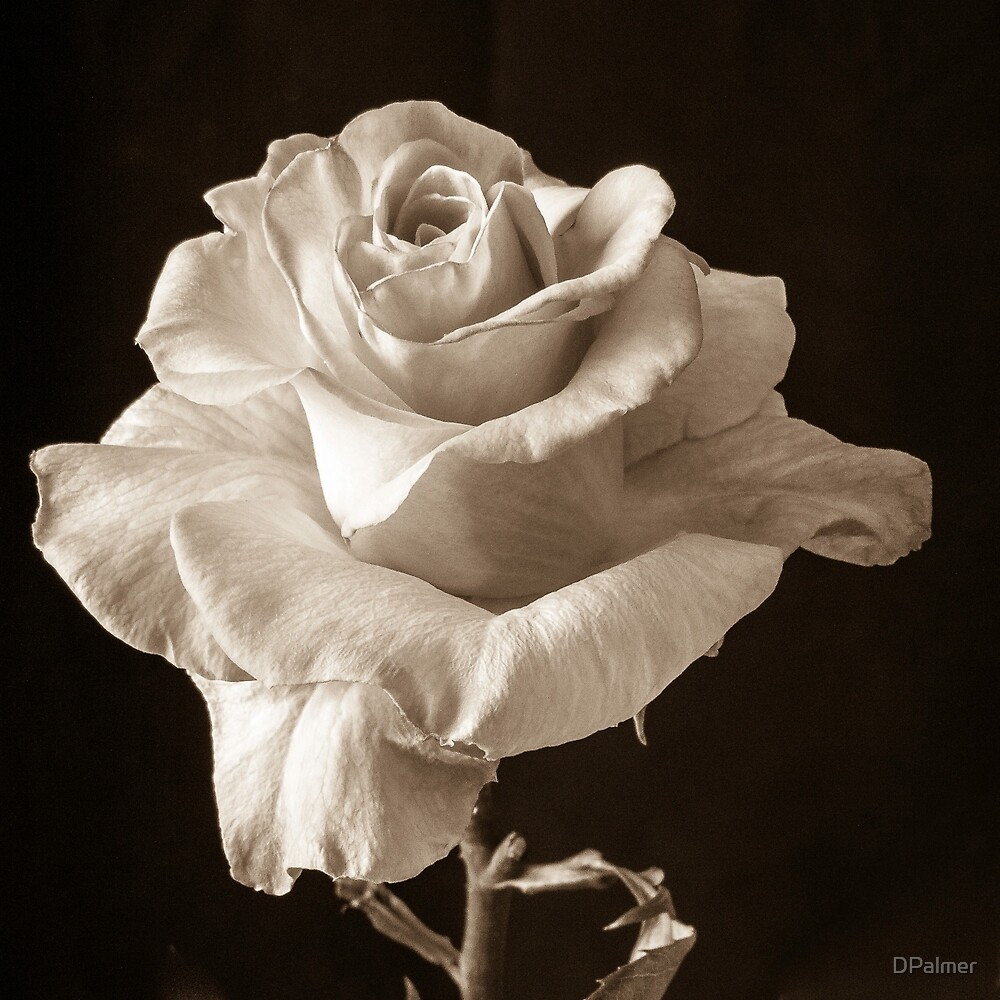 Rose in Sepia by DPalmer