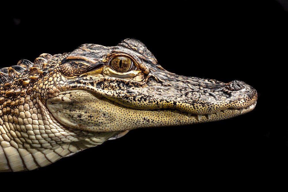 American Alligator by Russell Charters