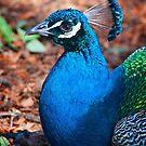 Peacock Portrait by Steve Randall