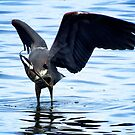 Great Blue Heron and Fish by Chrissy Ferguson