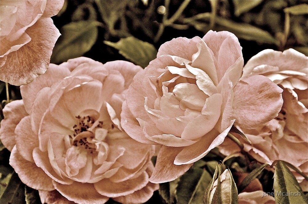 Textured  Roses by jane mcainsh