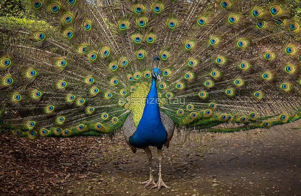Stunning Male Peacock by susanzentay