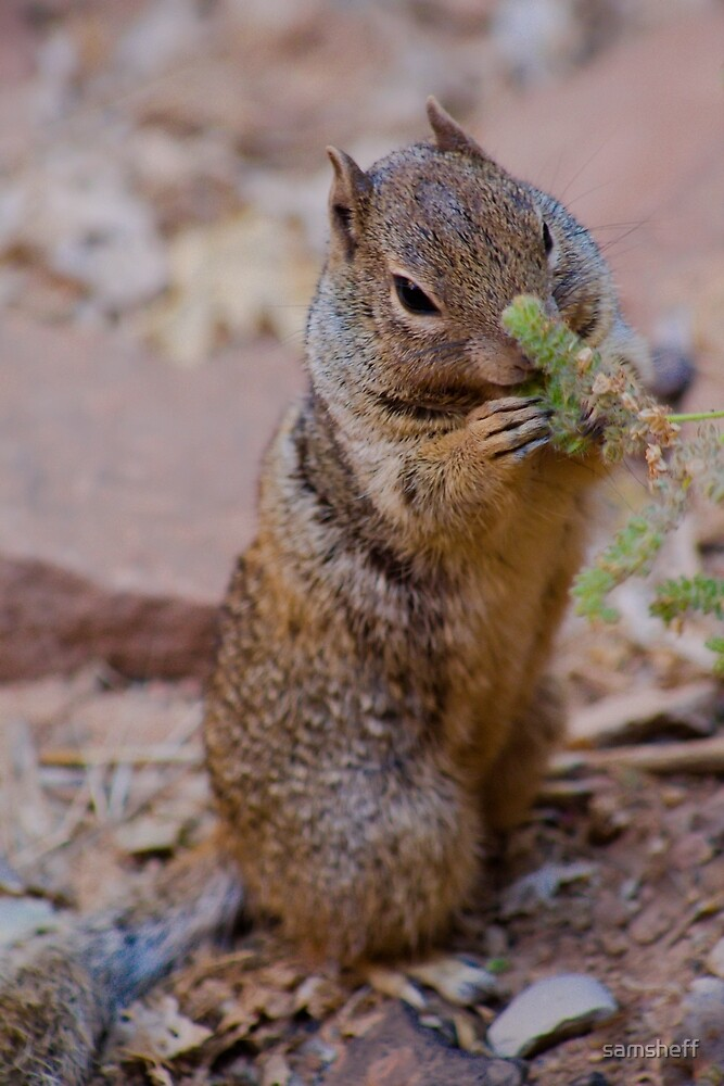 Squirrel in Zion by samsheff