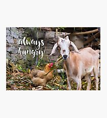 Always Hungry - hungry lil' goat  Photographic Print
