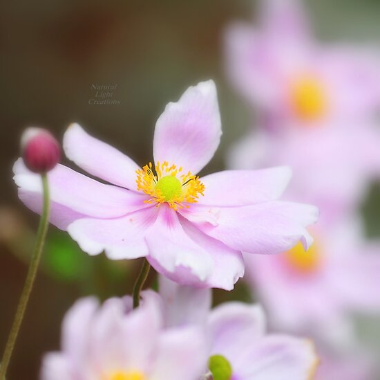 """Soft  Pink Anemones "" by Richard Couchman"