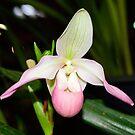 Orchid pink... by Wieslaw Jan Syposz