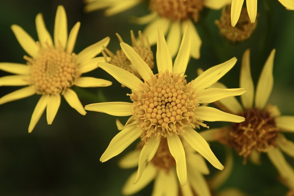 Ragwort Flowers by Adrian Wale