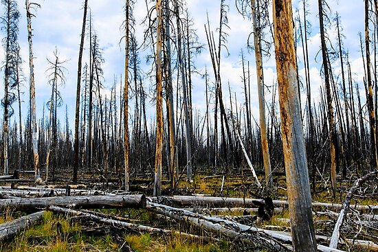 Remains of Forest Fire in Yellowstone National Park by bengraham