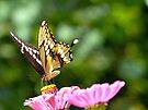 Giant Swallowtail by FrankieCat