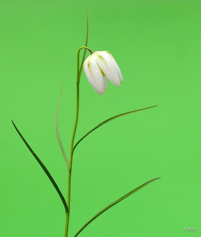 Single flower by Aase