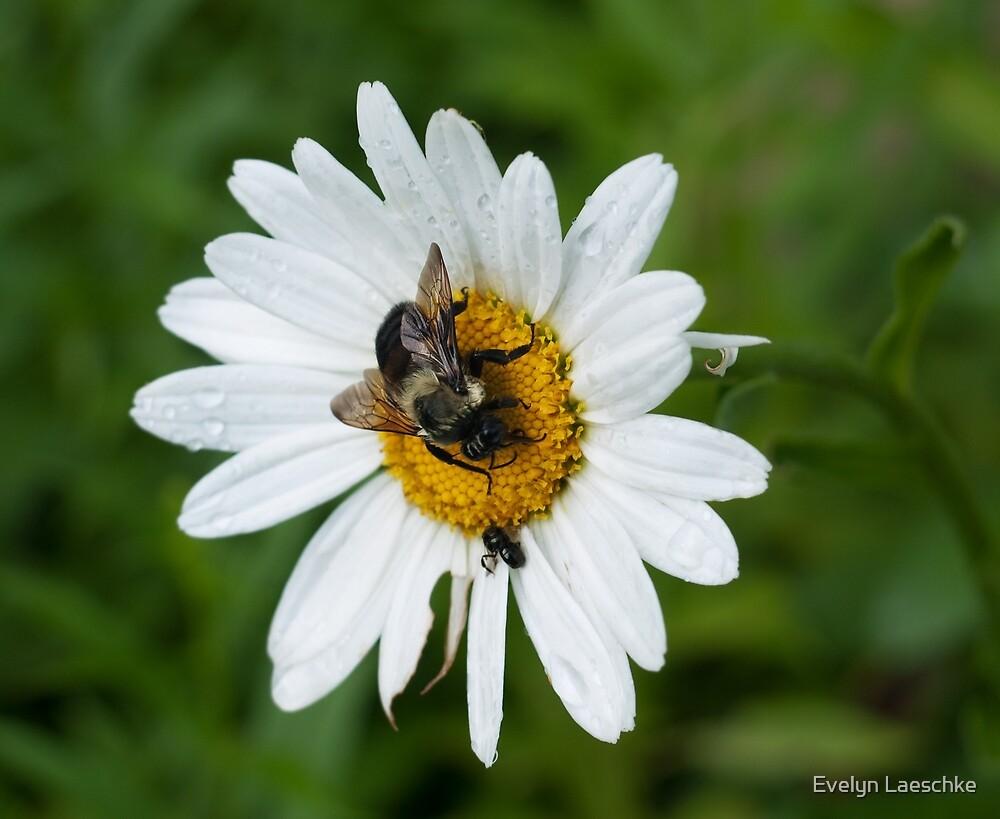 White Daisy by Evelyn Laeschke