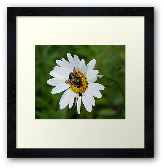 White Daisy by Evelyn Laeschke