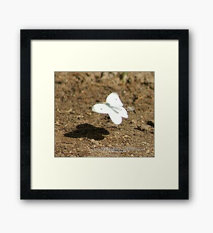 Cabbage White Butterfly - Pieris rapae; La Mirada, CA USA Framed Print