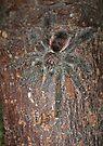 Ecuadorian Hedgehog Tarantula by Kawka