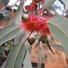 eucalyptus caesia  by jayview