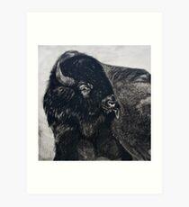 Buffalo Bull licking Wounds  Art Print