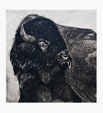 Buffalo Bull licking Wounds  Photographic Print