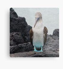 Blue Footed Boobie 1 - Galapagos Islands 2014 Metallbild