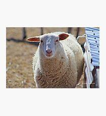 Long Island Sheep Photographic Print