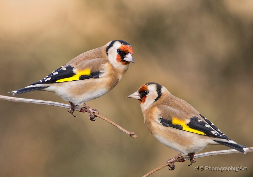 European Goldfinches by M.S. Photography/Art