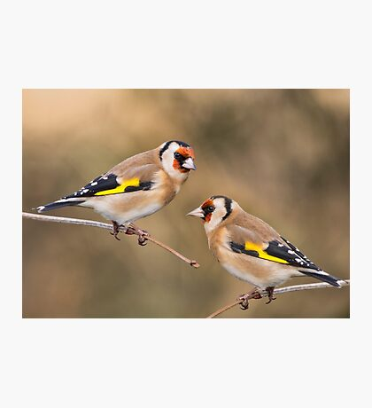 European Goldfinches Photographic Print