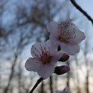 Peach Blossoms by Ann Allerup