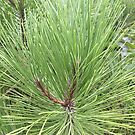 Magestic Pine by Ann Allerup