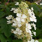 Dainty White Hydrangeas by Ann Allerup