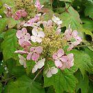 Hydrangeas in Bloom by Ann Allerup
