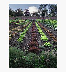 Lettuce line up Photographic Print
