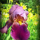 Proud Iris by PaulaAnnVan