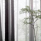 20.6.2015: Birch in the Pine Forest by Petri Volanen