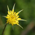 Goat's Beard by holdingmoments