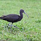 Glossy Ibis by holdingmoments