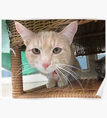 Orange Tabby Waiting for Adoption Poster